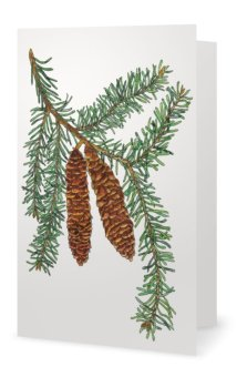 White Spruce: Picea canadensis