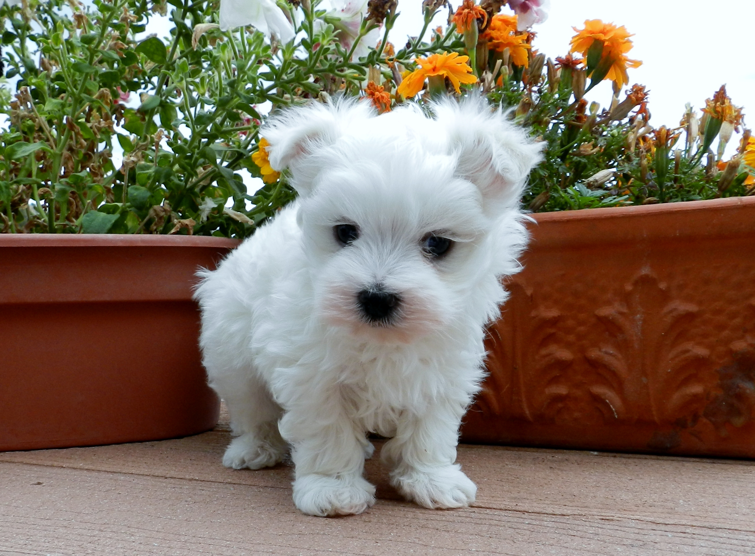 maltese breeders near me - 28 images - teacup maltese puppies sale