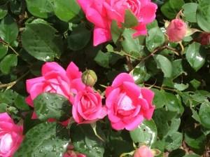 roses-1024x765