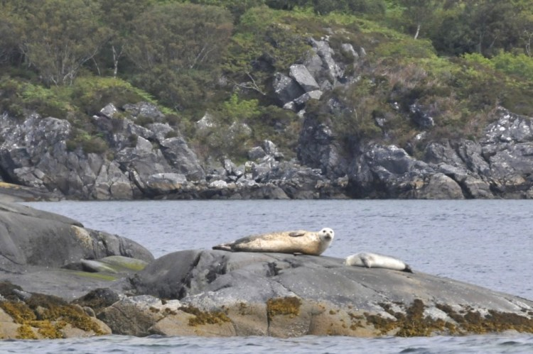 Phoques à Loch Moidart