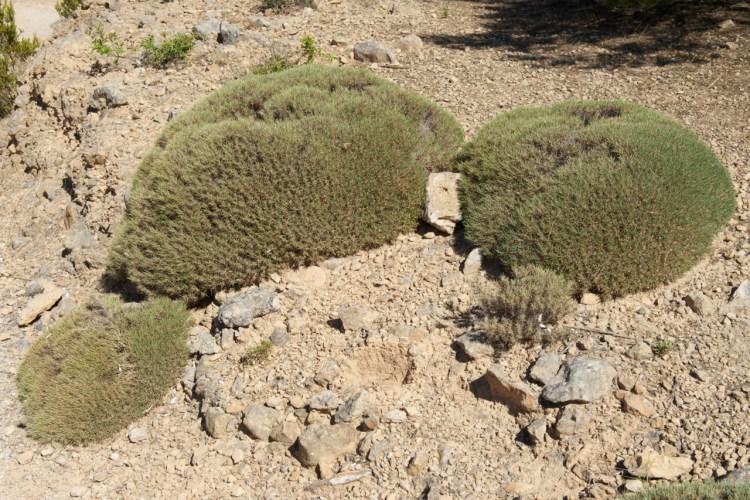 Rubia angustifolié sp. cespitosa. Pousse sur le litoral sud ouest de Cabrera espèce endémique.