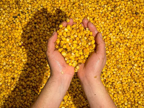 Nixtamal Corn kernels used to make Tortillas, the foundation of Mexican Food