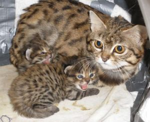 african black-footed cat