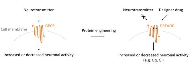 Mechanism of DREADDs