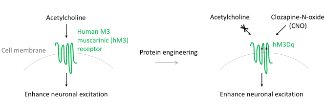 Mechanism of hM3Dq