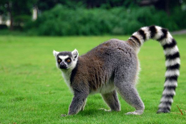It's ridiculous we can't own these in town. Photo via lemurworld.com