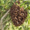 Honey Bee Swarm Removal Service in Maine