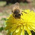 Bee on a dandelion bloom