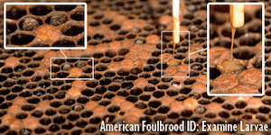American Foulbrood (AFB) Larvae Pattern
