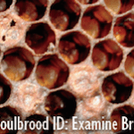 Significant Outbreak of American Foulbrood (AFB) in the Bowdoinham Area