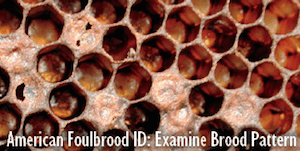 American Foulbrood (AFB) Brood Pattern