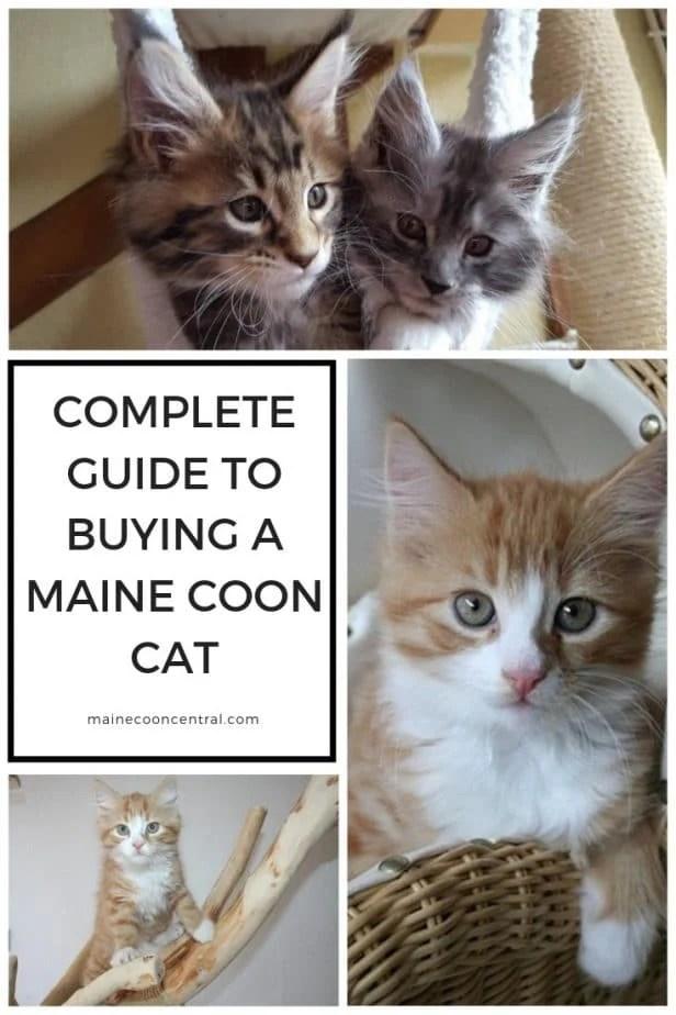 Short Hair Maine Coon : short, maine, Maine, Short, Hair?, Central