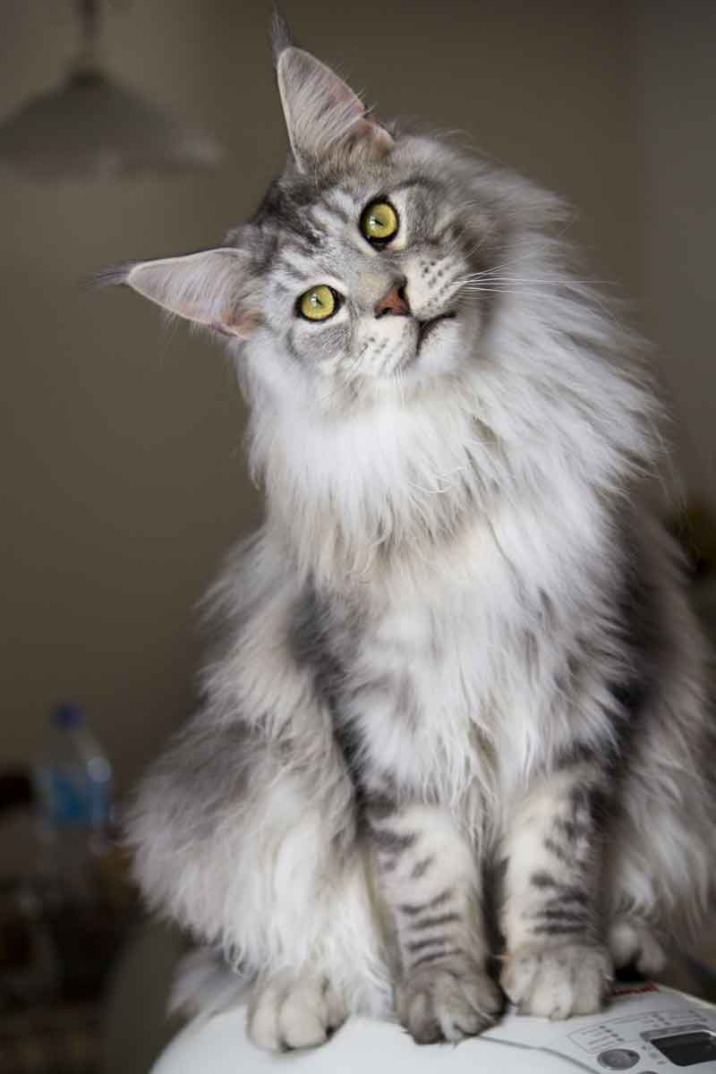 Grey And White Maine Coon : white, maine, Silver, Maine, Expert