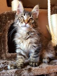 Maine Coon Kittens Colorado : maine, kittens, colorado, Hello,, Diesel, Montana, Maine, Breeder, Reviews, Fancy, Forums