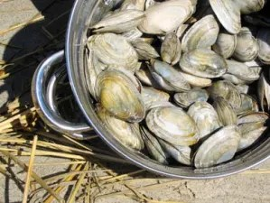 Clams for Chowder