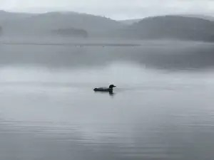 Long Pond loon