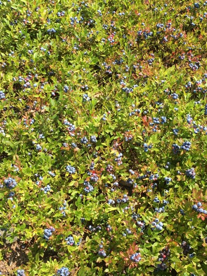 my blueberry field