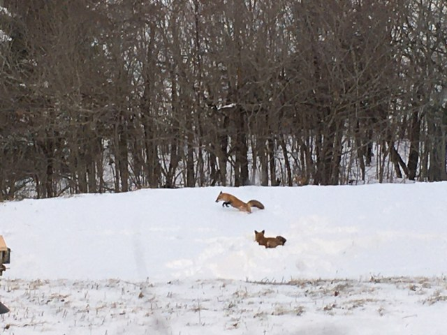 12-20 Foxes3