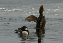Hooded Mergansers gather in the mouth of Bog Stream in Mount Vernon, ME. Photo by Logan Parker.