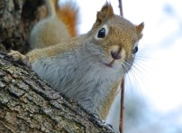 Red Squirrels are emerging from their winter dens to frequent feeders. Photo by Logan Parker.