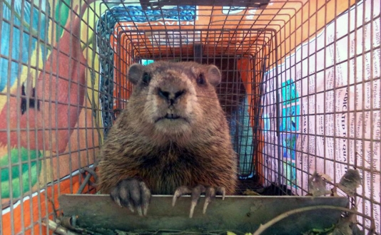 maine wildlife Removal groundhog