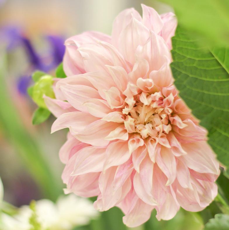 Darlin' Dahlia { Minnesota Local Florist }