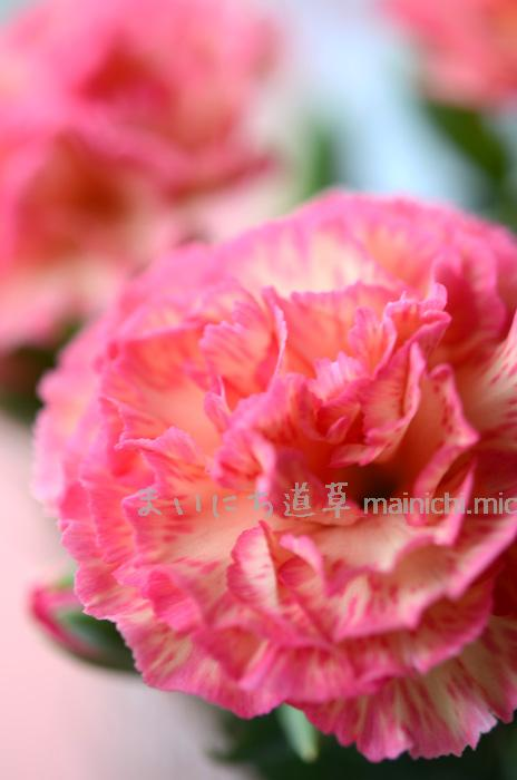 花びらの縁が、明るいピンク