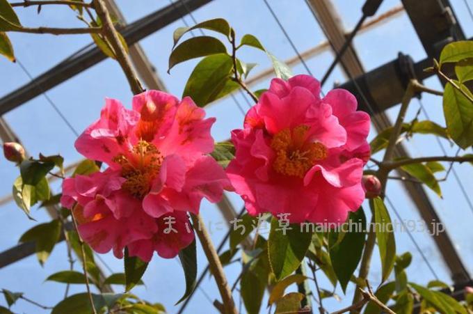 鮮やかなピンクの椿