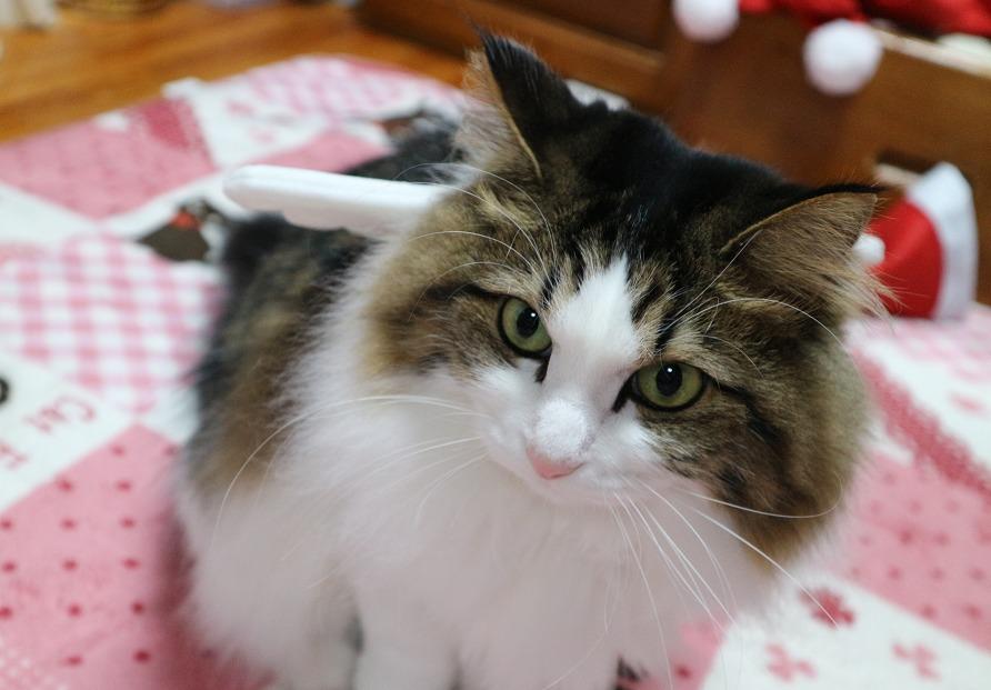 猫のクリスマスコスプレ