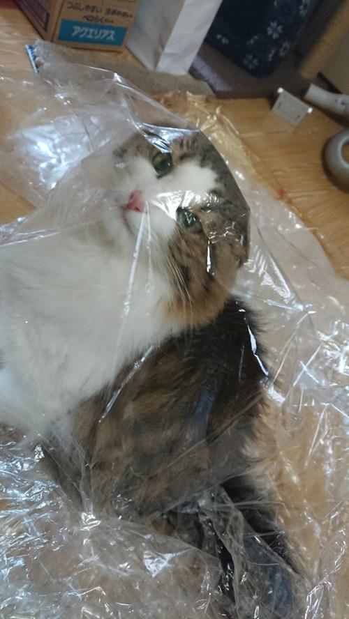 袋をなめる猫