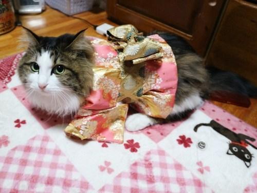 着物を着た猫の写真
