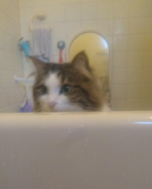 風呂を覗きに来る猫の画像