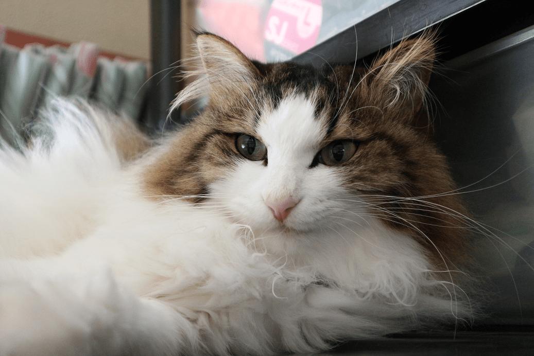 寝癖がついている猫