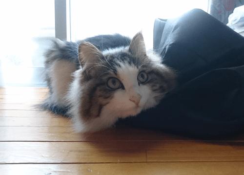 呪いをかける猫