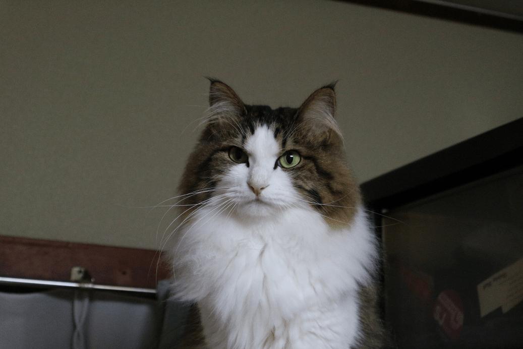 きりっとした顔の猫