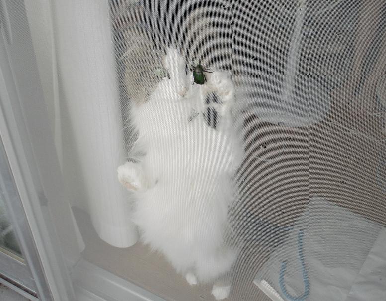 カナブンを襲う猫