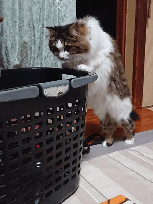 カゴに入ろうとする猫