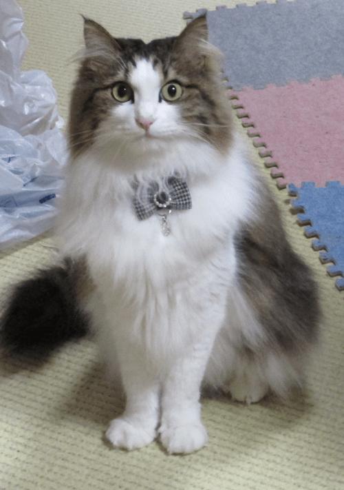 干し芋の匂いを嗅ぐ猫