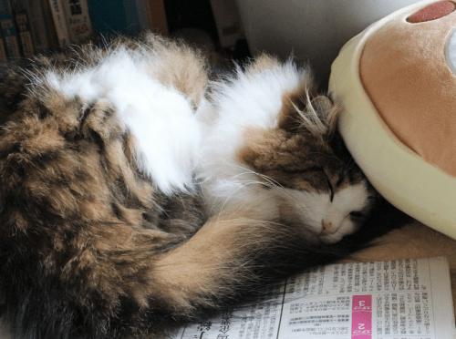 疲れて眠る猫