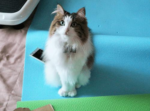 ヨガマットに座る猫