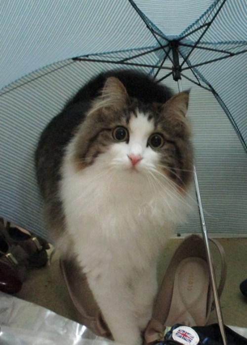 傘をさす猫