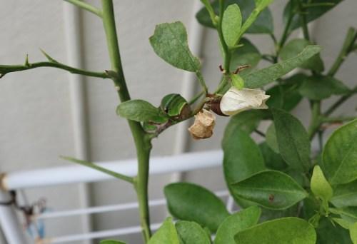 ナミアゲハ蝶の成長記録