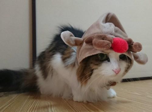 サンタコスプレをする猫