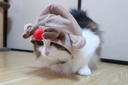 トナカイの被り物を被る猫
