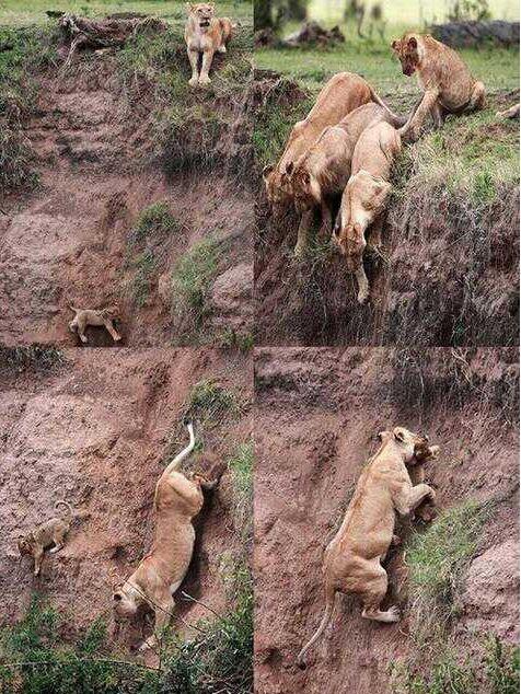 ライオンは我が子を谷に突き落とす