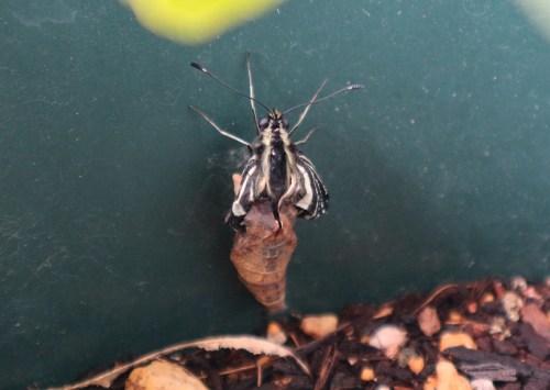 ナミアゲハ蝶 羽化 失敗