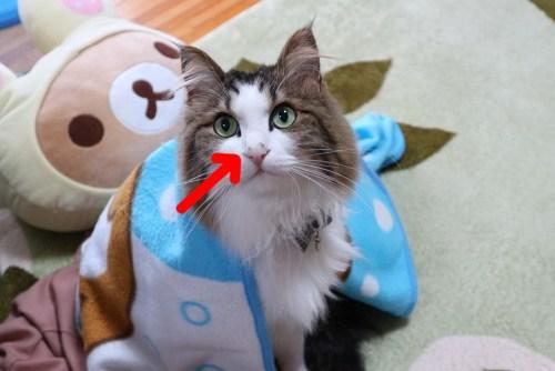 猫 鼻の汚れ