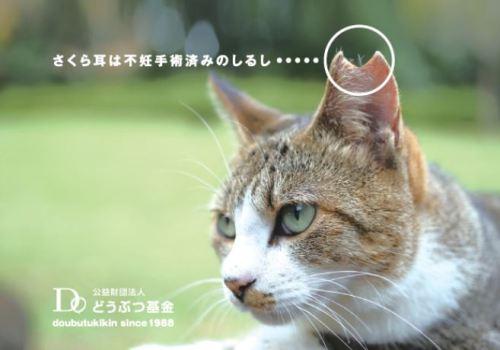 地域猫 TNR 桜カット さくら耳