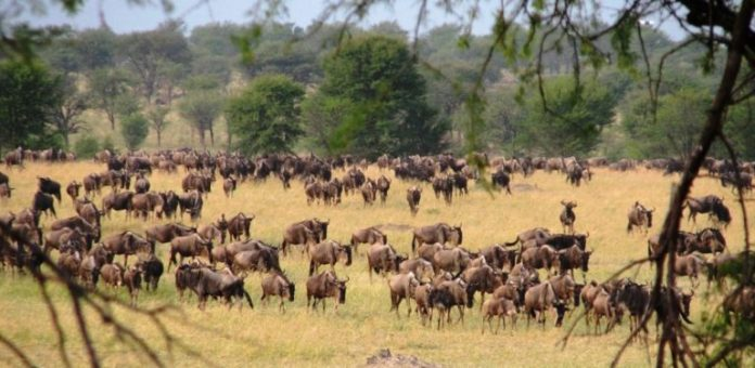 East Africa's wildebeest migration pours through Serengeti National Park.