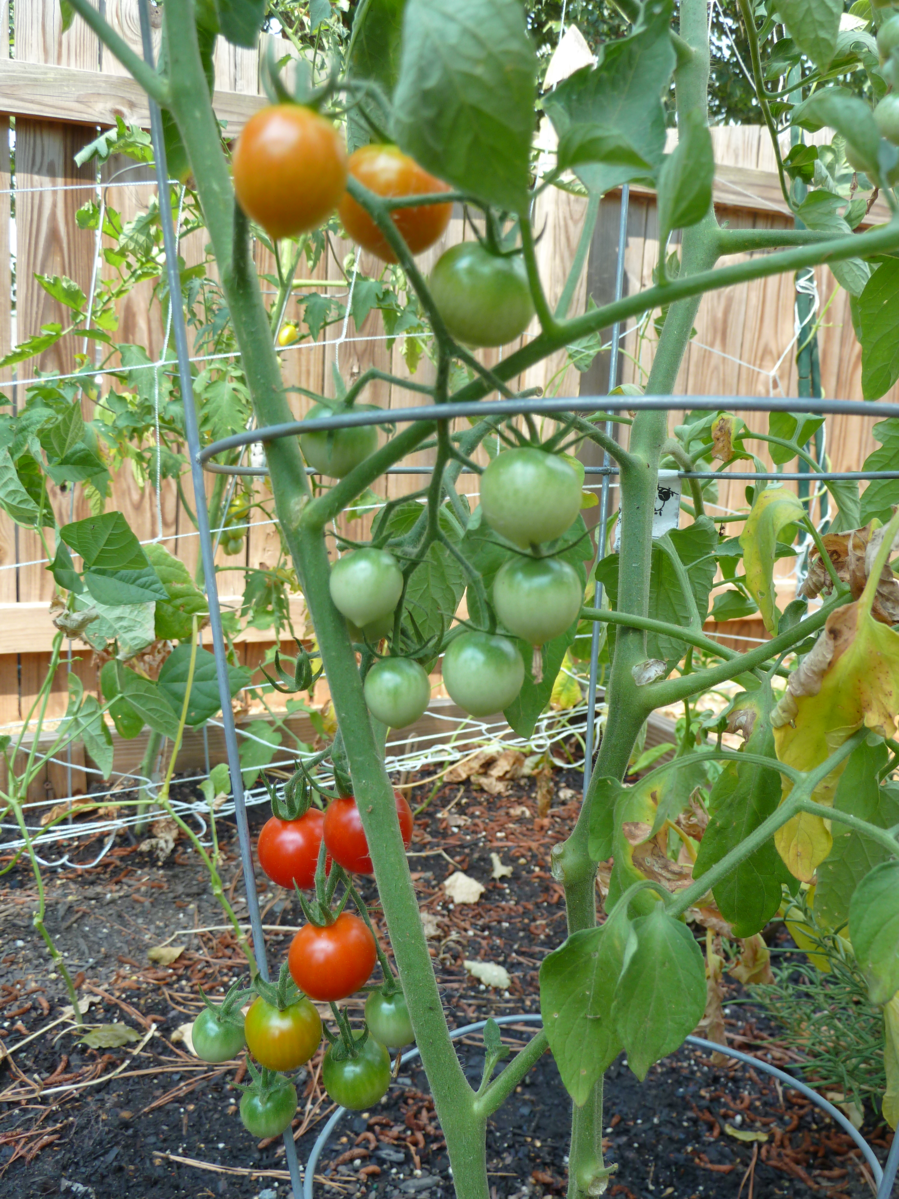 7 Tomato Plants 5 Ideas For Recipes And 1 Plan Main St Cuisine